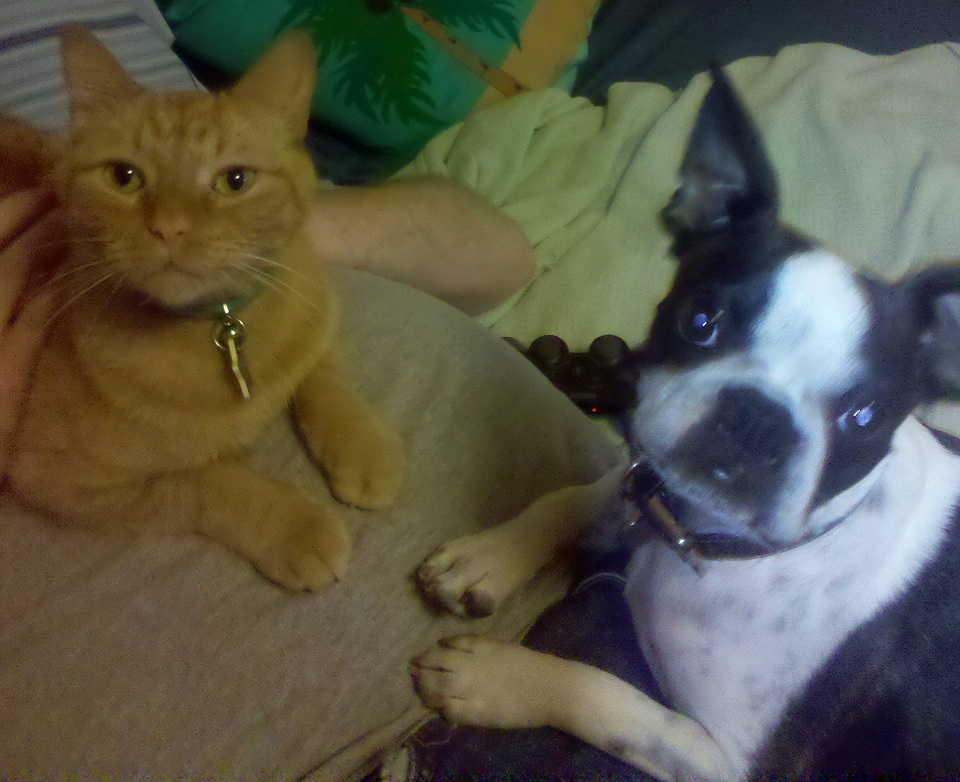 boston terrier and cat picture