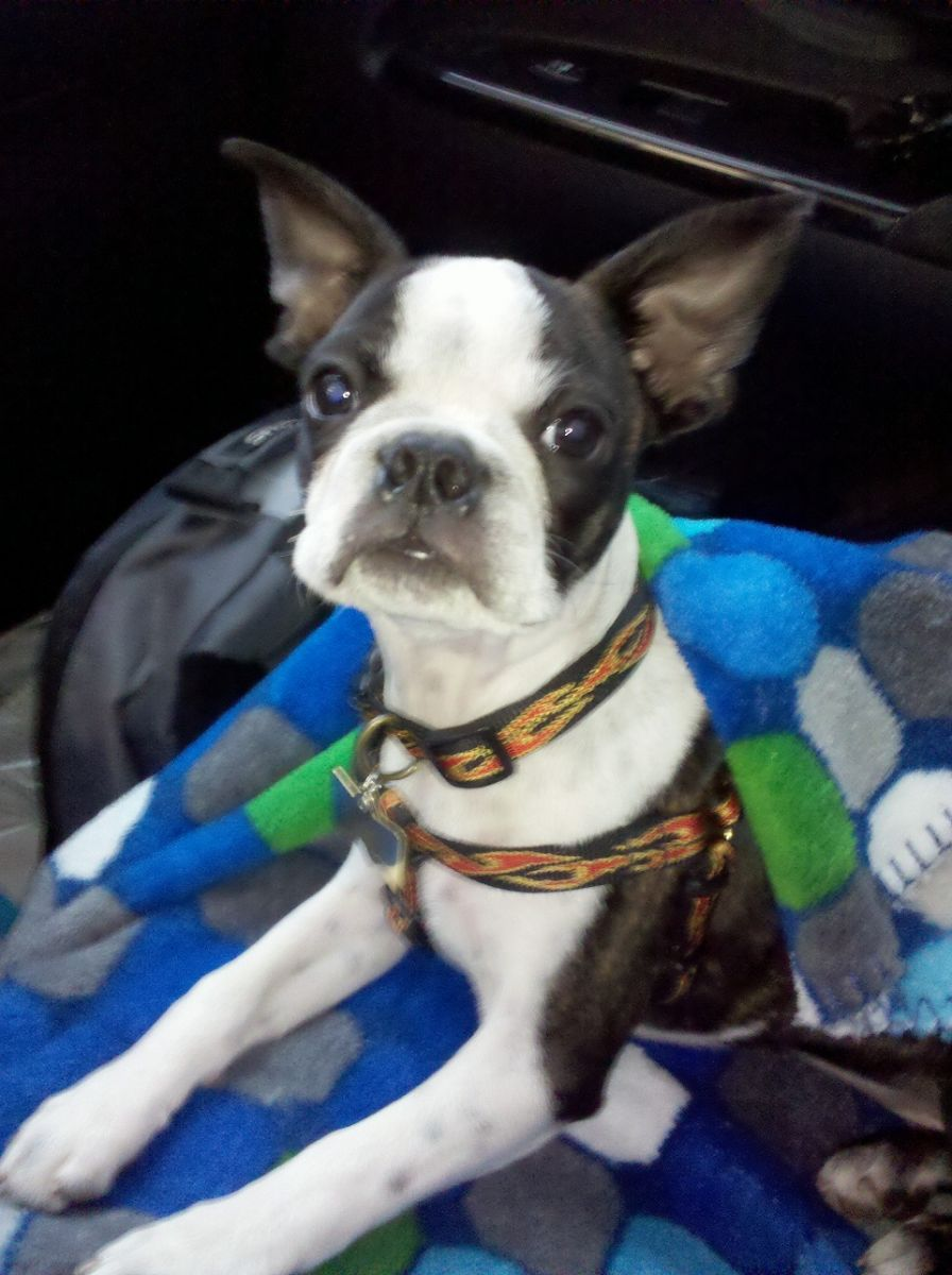 boston terrier pictures 10