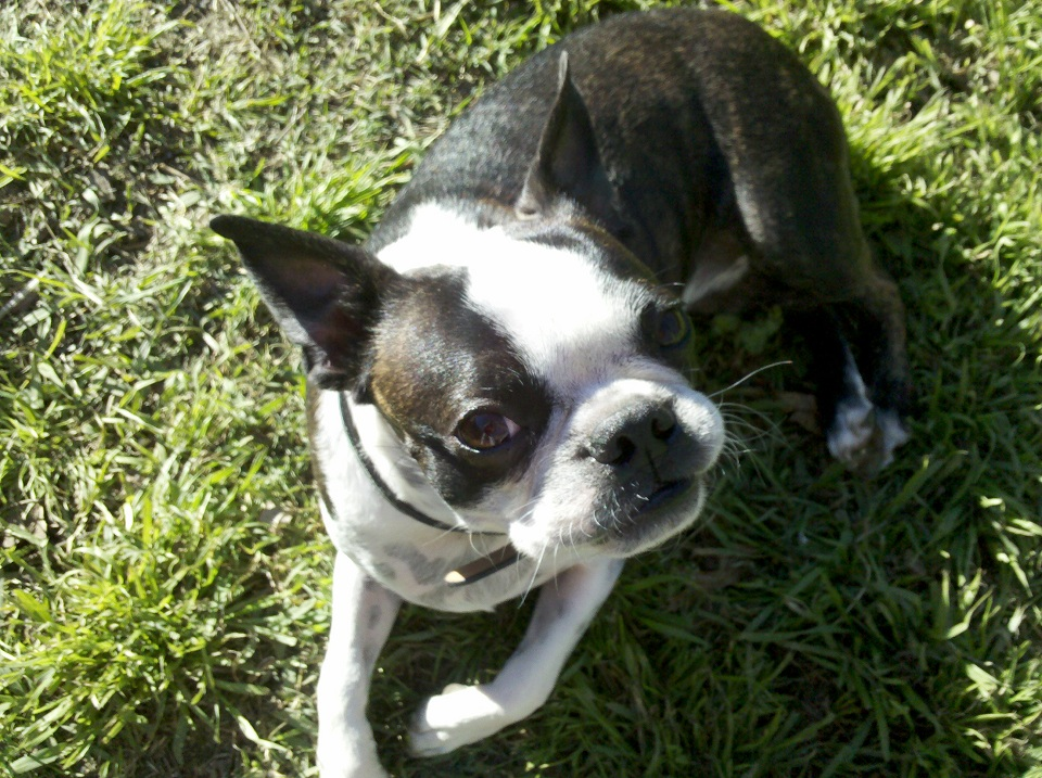 boston terrier pictures 19