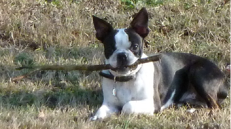 boston terrier pictures 8