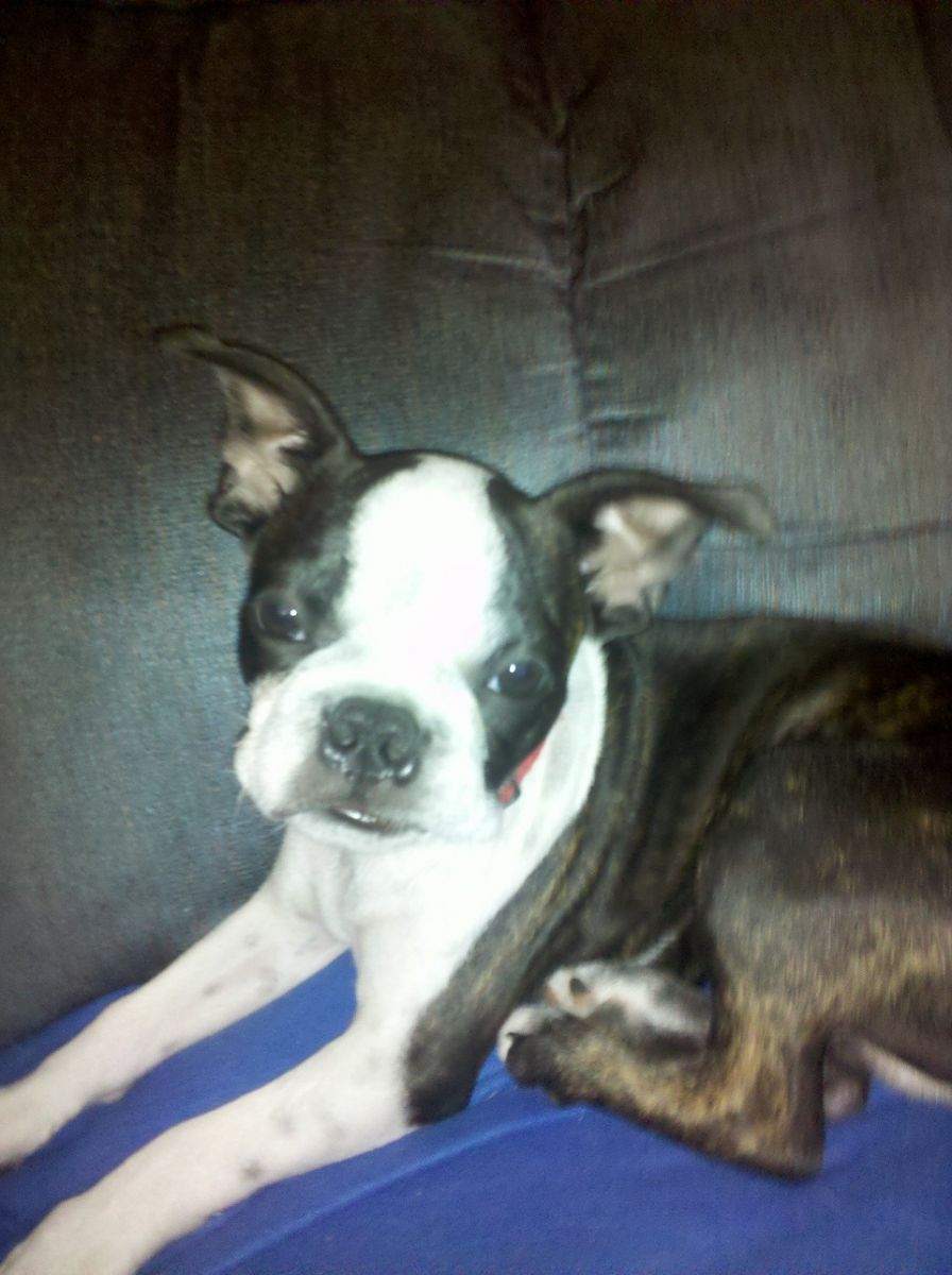boston terrier pictures 9